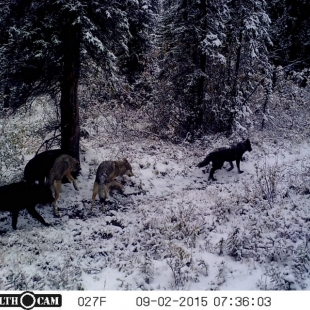 Wolves and other predators